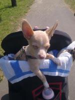 Dringend kleiner Chihuahua Welpe abzugeben :-(