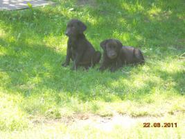 Foto 2 Dringend!S�sse schwarze Labrador Welpen zvk!