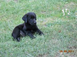 Foto 3 Dringend!S�sse schwarze Labrador Welpen zvk!