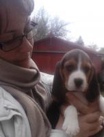 Foto 3 Dringend - echt süsse tricolor beagle Welpe suchen neuen Zuhause:-)