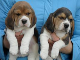 Foto 2 Dringend - echt s�sse tricolor beagle Welpe suchen neuen Zuhause:-)