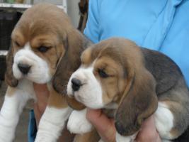 Foto 3 Dringend - echt s�sse tricolor beagle Welpe suchen neuen Zuhause:-)