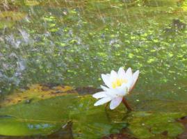 Seerose im Park