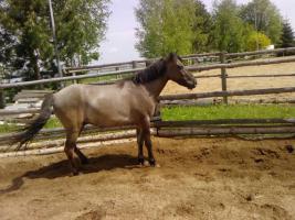 Foto 2 Dülmener Wildpferd