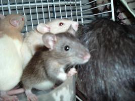 Foto 2 Dumboratten, Rattenbaby, Hausratten