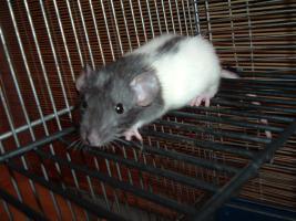 Foto 3 Dumboratten, Rattenbaby, Hausratten