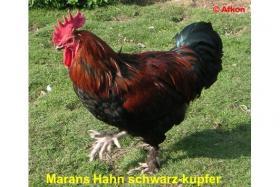 Foto 2 Dunkelbraune BRUTEIER von MARANS