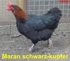 Foto 3 Dunkelbraune BRUTEIER von Maran schwarz kupfer