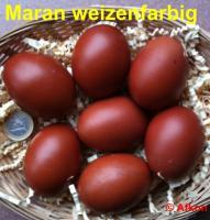 Foto 4 Dunkelbraune BRUTEIER von Maran schwarz kupfer