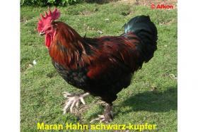 Foto 3 Dunkelbraune Bruteier von MARAN schwarz-kupfer