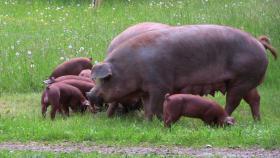 Duroc-Schwein reinrassig