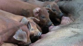Foto 3 Duroc-Schwein reinrassig