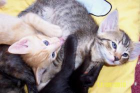 Foto 2 EKH + SIAM = OKH   !!! Kittenalarm !!!