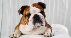 ENGLISH BULLDOG ZUCHT