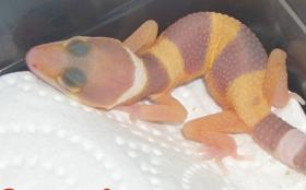ENZ: 2012 Leopardgecko