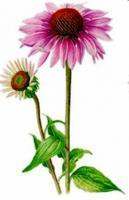 Echinacea 1 kilo Echinacea angustifolia.