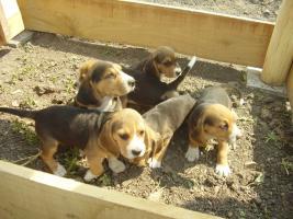 Echt süsse Beagle tricolor Welpe zvk!:-)