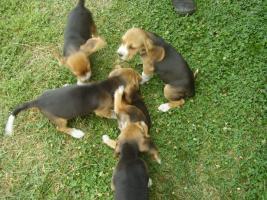 Foto 2 Echt süsse Beagle tricolor Welpe zvk!:-)