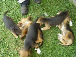 Echt süsse Beagle tricolor Welpe zvk:-)