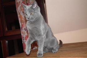 Foto 2 Echte junge reinrassige Kartäuser Chartreux Kitten