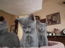 Foto 3 Echte junge reinrassige Kartäuser Chartreux Kitten