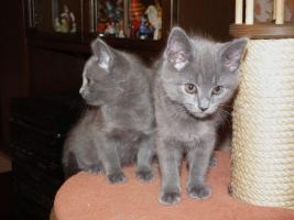Foto 4 Echte junge reinrassige Kartäuser Chartreux Kitten