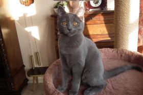 Foto 5 Echte junge reinrassige Kartäuser Chartreux Kitten