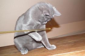 Foto 6 Echte junge reinrassige Kartäuser Chartreux Kitten