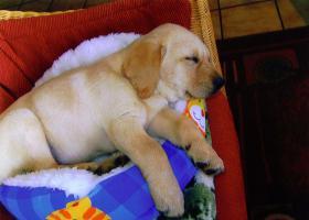 Foto 2 Edle Labrador Welpen blond, mit Stammbaum nur in beste Hände !