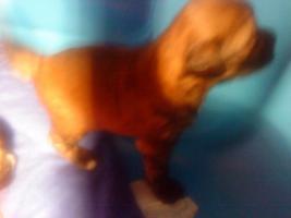 Foto 2 Ein Traum in Gold!Wunderschöne Tibet-Terrier-Welpen aus urgesunder DDR-Linie
