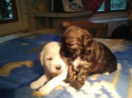 Foto 3 Ein Traum in Gold!Wunderschöne Tibet-Terrier-Welpen aus urgesunder DDR-Linie
