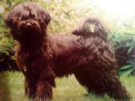 Foto 5 Ein Traum in Gold!Wunderschöne Tibet-Terrier-Welpen aus urgesunder DDR-Linie