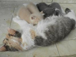 Ein bunter Wurf aus sechs süßen, verschmusten BKH Kitten