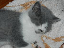 Foto 2 Ein bunter Wurf aus sechs süßen, verschmusten BKH Kitten