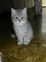 Foto 3 Ein bunter Wurf aus sechs süßen, verschmusten BKH Kitten