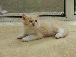 Foto 4 Ein bunter Wurf aus sechs süßen, verschmusten BKH Kitten