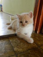 Foto 5 Ein bunter Wurf aus sechs süßen, verschmusten BKH Kitten