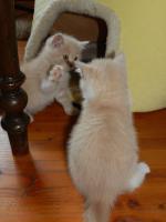 Foto 6 Ein bunter Wurf aus sechs süßen, verschmusten BKH Kitten