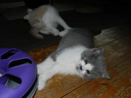 Foto 7 Ein bunter Wurf aus sechs süßen, verschmusten BKH Kitten