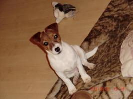 Ein kleiner süßer Jack- Russel Rüde sucht ein liebevolles Zuhause!!