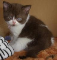 Foto 2 Ein kugelrundes BKH - Kätzchen sucht noch ein neues Zuhause