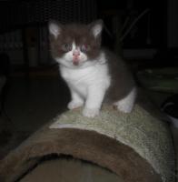 Foto 6 Ein kugelrundes BKH - Kätzchen sucht noch ein neues Zuhause