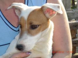 Foto 3 Ein lieber Jack-Russel sucht ein schönes und liebes Zuhause