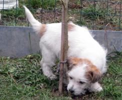 Foto 3 Ein niedlicher Welpe des Jack-Russell-Terrier mit Ahnentafel