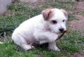 Foto 4 Ein niedlicher Welpe des Jack-Russell-Terrier mit Ahnentafel