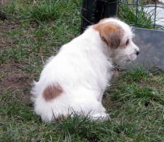 Foto 5 Ein niedlicher Welpe des Jack-Russell-Terrier mit Ahnentafel