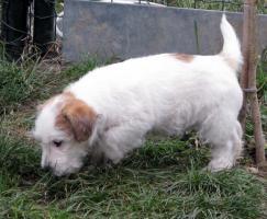 Foto 6 Ein niedlicher Welpe des Jack-Russell-Terrier mit Ahnentafel