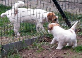 Foto 7 Ein niedlicher Welpe des Jack-Russell-Terrier mit Ahnentafel