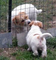 Foto 8 Ein niedlicher Welpe des Jack-Russell-Terrier mit Ahnentafel