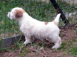 Foto 9 Ein niedlicher Welpe des Jack-Russell-Terrier mit Ahnentafel